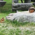 Bilde av ekorn som besøker campingplassen i Rondane